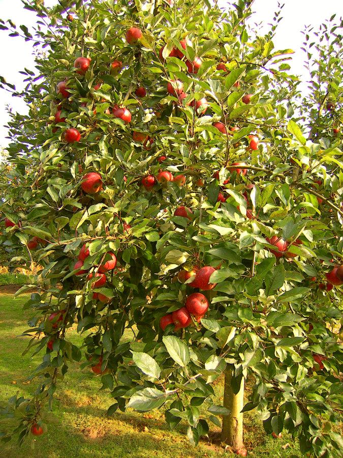 Artland Mosterei - Streuobstwiese - Baum mit Äpfeln Bild 01