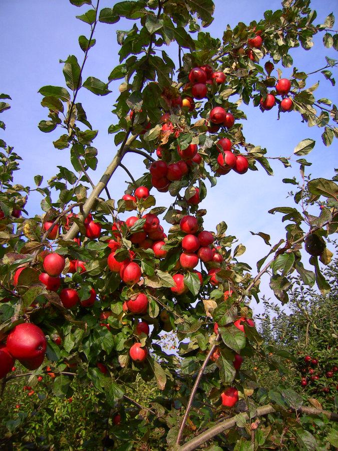Artland Mosterei - Streuobstwiese - Baum mit Äpfeln Bild 02