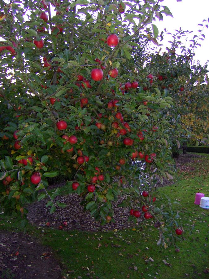 Artland Mosterei - Streuobstwiese - Baum mit Äpfeln Bild 03