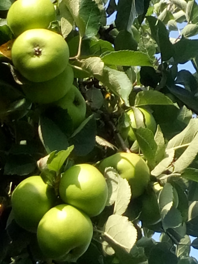 Artland Mosterei - Streuobstwiese - Baum mit Äpfeln Bild 04