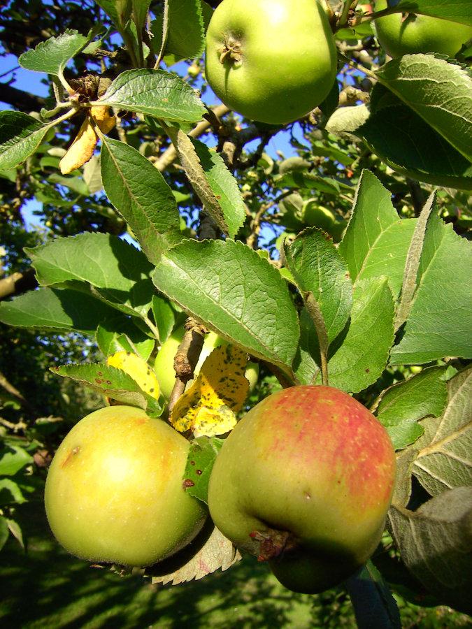 Artland Mosterei - Streuobstwiese - Baum mit Äpfeln Bild 05