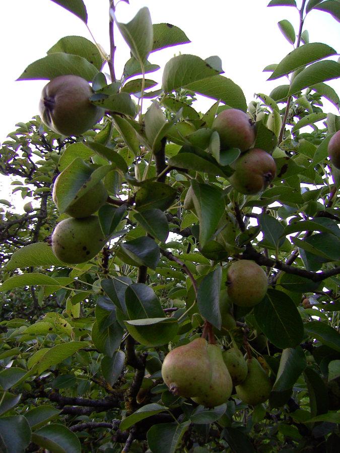 Artland Mosterei - Streuobstwiese - Baum mit Birnen Bild 01