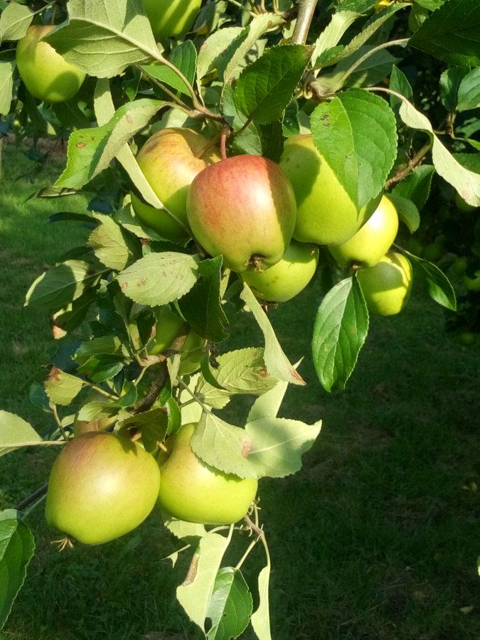 Artland Mosterei - Streuobstwiese - Baum mit Äpfeln Bild 06