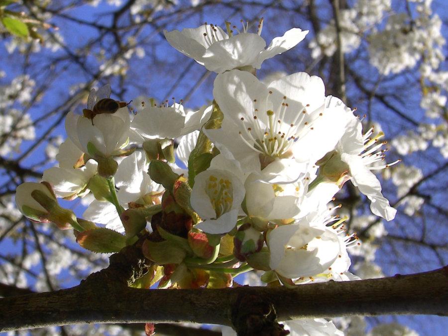 Artland Mosterei - Blüten Bild 01